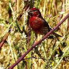 House Finch {Male}
