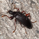 Comb clawed beetle