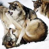 Волки Живые Обои