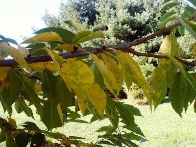 Yoshino Cherry And Yellow Leaves