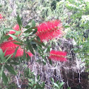 Bottle Brush bush