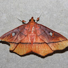 Midiline moth
