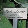 Kashmir Sage