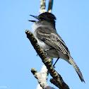 Loggerhead Kingbird - Clérigo