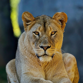Her Majesty The Queen by Roy Walter - Animals Lions, Tigers & Big Cats