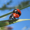 Seven-Spotted Ladybugs Mating