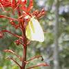 Yellow Sulphur Butterfly