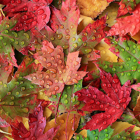 Maple autumn leaves by Besnik Hamiti - Nature Up Close Leaves & Grasses ( fall leaves on ground, fall leaves, autumn, raindrops, leaves, maple )
