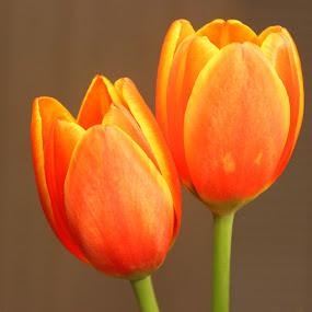 Orange Tulip by Christie Henderson - Novices Only Flowers & Plants ( orange, tulip,  )