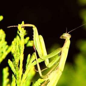 Mantis at Night by Nat Bolfan-Stosic - Animals Insects & Spiders ( worth up, grass, green, night, mantis )