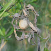 Argiope aurantia egg sac.
