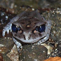 Hasselt's toad