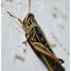 American Birdwing Grasshopper