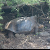 Spanish saddle shelled Galapagos giant tortoise