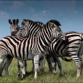 Zebra by Richard Ryan - Animals Other ( nature, zebra, mammal, stripe,  )