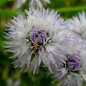 Common globe flower