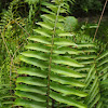 Giant sword fern