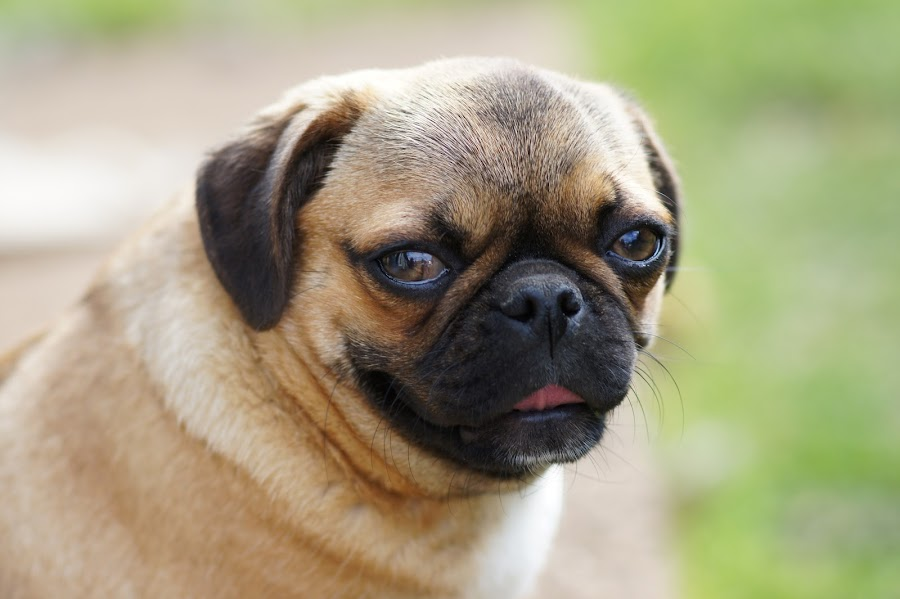 Bella Portrait by Scott Harkness - Animals - Dogs Portraits ( dogs, doggy, dog portraits, dog, animal, #GARYFONGPETS, #SHOWUSYOURPETS )
