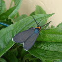Virginia Ctenucha moth