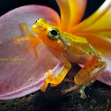 Wine-coloured Tree Bubble-nest Frog