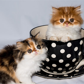 Tea for Two by Richard Ryan - Animals - Cats Kittens ( cats, persian, kittens,  )