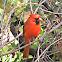 Cardinal - Northern Cardinal