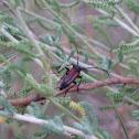 Long horned beetle