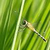 侏儒蜻蜓 Diplacodes trivialis