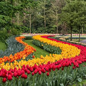 Tulip Garden by Lynn Wiezycki - Flowers Flower Gardens ( holland, tulip. keukenhof, garden, flower )