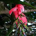 Bilbergia - Lágrimas de reina