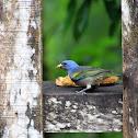 Sanhaçu-de-encontro-amarelo (Golden-chevroned Tanager)