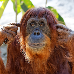 Hear no Evil by Patrick Sherlock - Animals Other Mammals ( deafness, listening, speak no evil, cute, mammal, hear no evil, looking, see no evil, chimpanzee, sitting, orangatang, ape, silence, fur, orangutan, orangatan, primate, orangutang, evil, monkey )