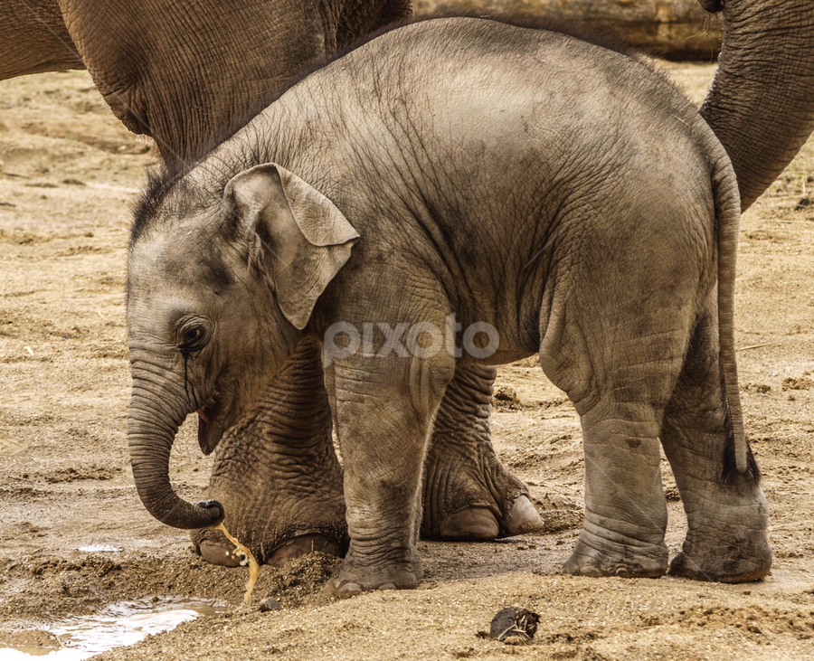 So small by Garry Chisholm - Animals Other Mammals ( garry chisholm, nature, elephant, wildlife, mammal, asian )