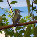 Costa's humming bird