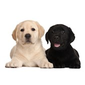 Labrador puppies wallpaper