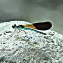 Rhinocypha Damselfly