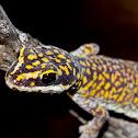 New species of Velvet gecko