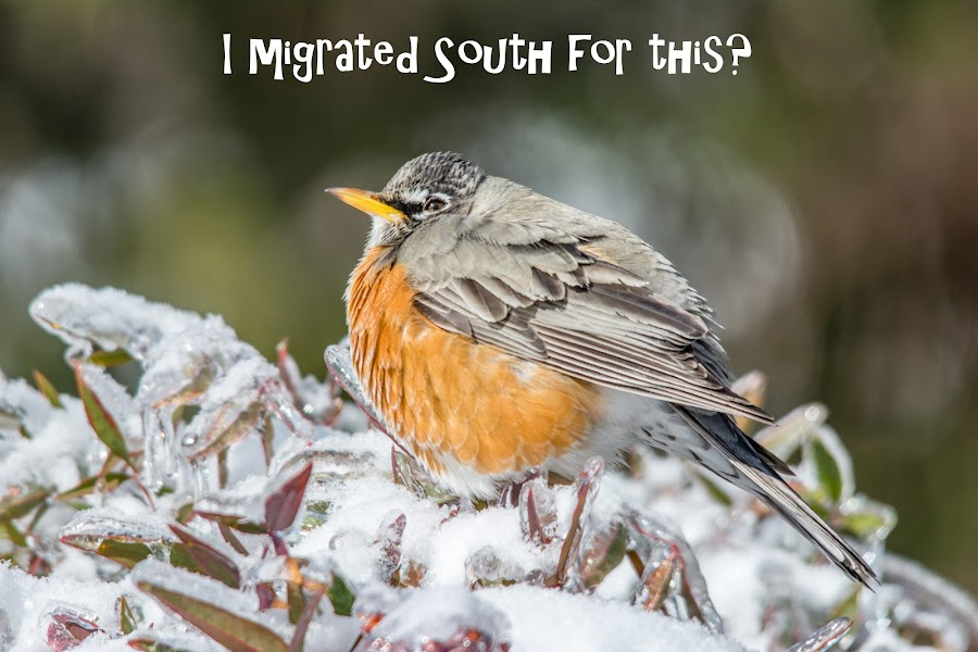 I Migrated South for This? by Jennifer McWhirt - Typography Captioned Photos ( robin, winter, photographybyjenmcwhirt.com, ice, snow, tennessee, captioned photos, humor, typography, birds,  )