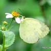 Three spot Grass Yellow