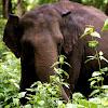 The Asiatic Elephant