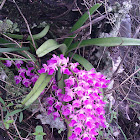 Foxtail Orchid