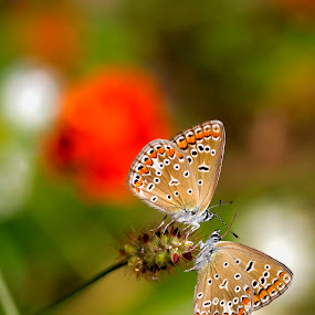 2 by Naiden Bochev - Animals Insects & Spiders ( butterfly, macro, nature, macro photography, nature up close )