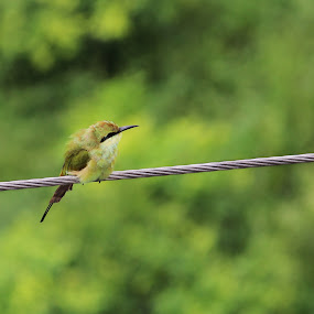 Green Morning by Abdul Rauf Chaudhry - Animals Birds ( bee eater pakistan lahore green pakistan )