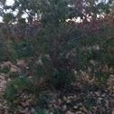 Cherry plumb tree