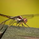 Slaty Skimmer (female)