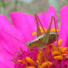 Katydid/ bush cricket