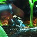 Dying Dart Frog