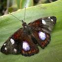 Mnasylus Butterfly