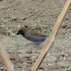 Scaly-breasted Munia / Spotted Munia  Lonchura punctulata