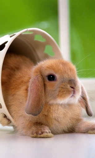 Lovely Rabbit Pet